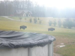 Unprofessional Buffalo Picture